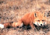 cautious fox scaled