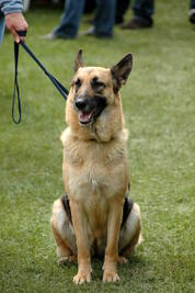German_Shepherd_Dog_sitting_leash