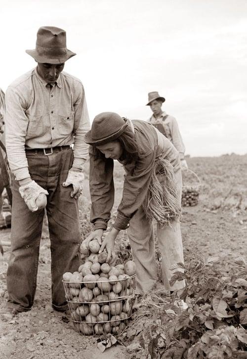 picked potatoes