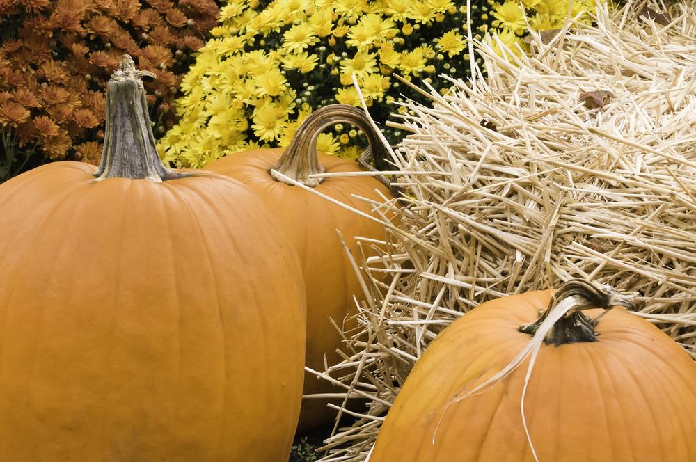 Autumn at a glance Arrangement of three pumpkins, straw, and flowers in garden-1