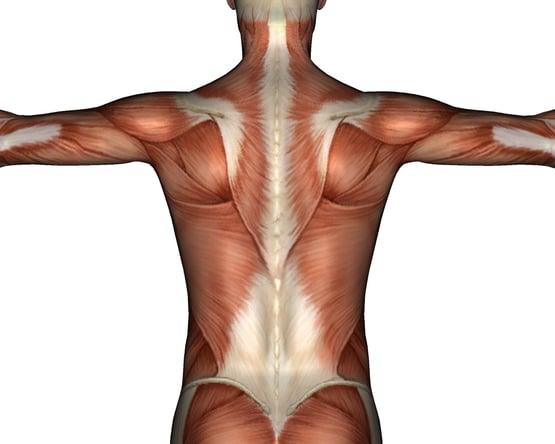 grupos de musculos